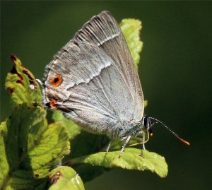 Purple_hairstreak_(Neozephyrus_quercus)_female_underside