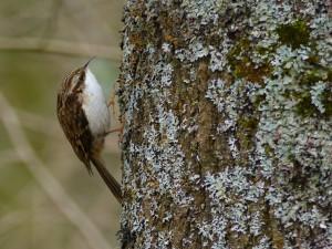 Treecreeper in Howe Park Wood by Harry Appleyard
