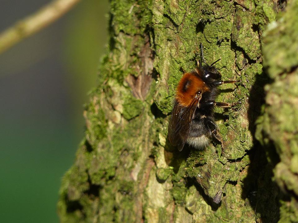 Tree Bumblebee at Howe Park Wood by Harry Appleyard