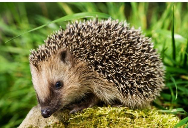 hedgehog_Philartphace_623