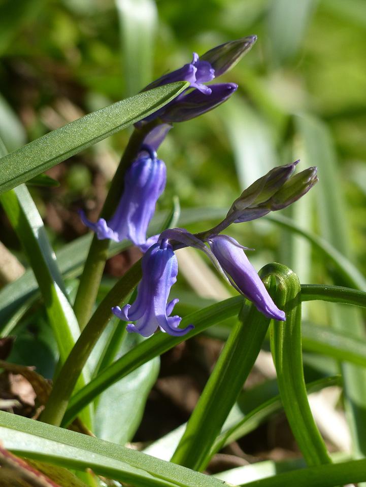 Bluebells by Harry Appleyard, Howe Park Wood 01Mar16