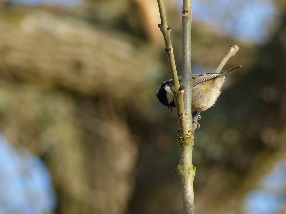 Coal Tit by Harry Appleyard, Howe Park Wood 06Mar16