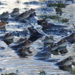 Common Frogs by Harry Appleyard, Howe Park Wood 04Mar16