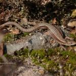 Common Lizard by Harry Appleyard, Rammamere Heath 13 March 2016