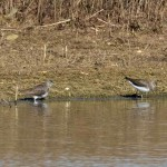 Green Sandpipers by Peter Garner, Floodplain Forest NR, 25 March 2016