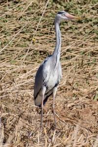 Grey Heron by Peter Garner, Floodplain Forest NR, 25 March 2016