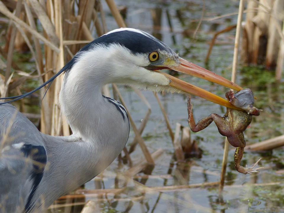 Grey Heron with Common Frog by Harry Appleyard, Westcroft 06Mar16