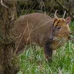 Muntjac Buck by Harry Appleyard, Howe Park Wood 24 March 2016