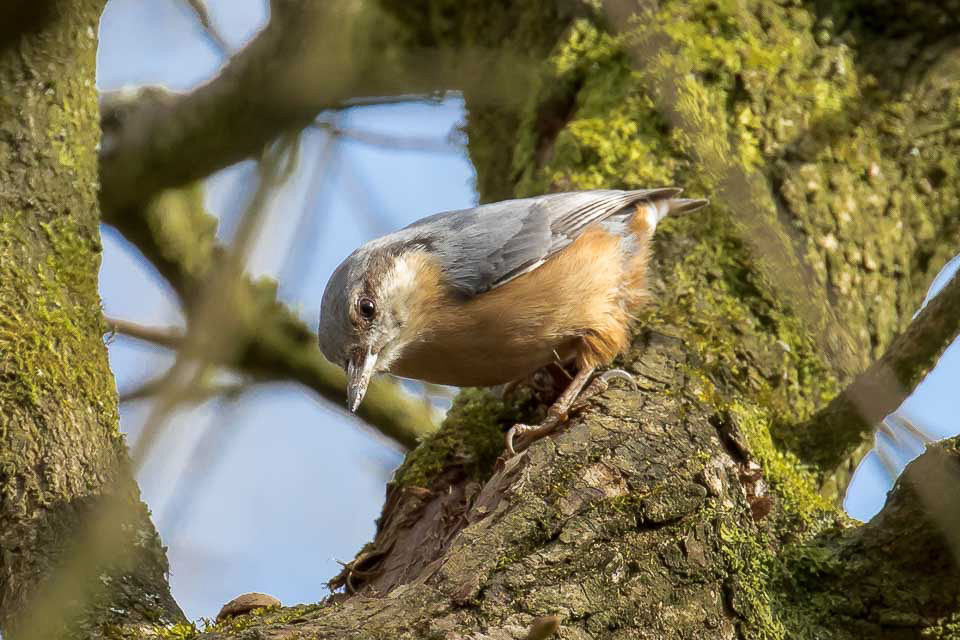 Nuthatch by Peter Garner, Little Linford Wood, 25 March 2016