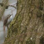 Treecreeper by Harry Appleyard, Howe Park Wood 13 March 2016