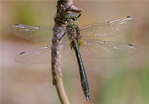 Downy Emerald (male)