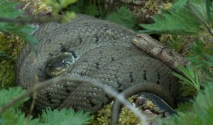 Grass snake by Martin Kincaid, Linford Lakes NR,24 April 2016