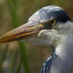 Grey Heron by Harry Appleyard, Howe Park Wood 19 April 2016