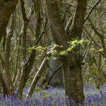 Bluebells, Howe Park Wood by Harry Appleyard, 14 April 2016