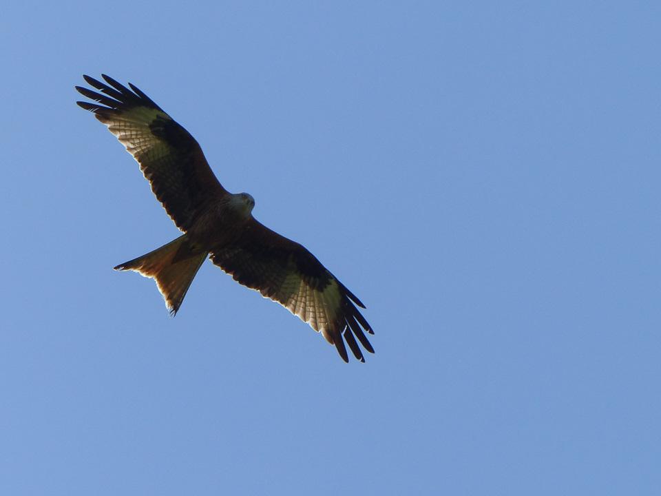 Red Kite by Harry Appleyard, Tattenhoe Park 19 April 2016