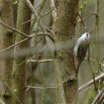 Treecreeper by Harry Appleyard, Howe Park Wood, 14 April 2016