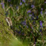 Treecreeper by Harry Appleyard, Howe Park Wood 23 April 2016