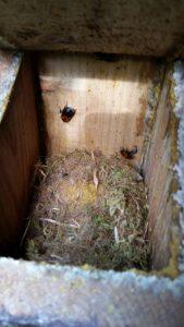 Bombus hypnorum nest