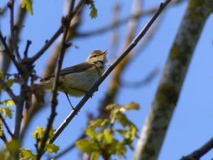 Willow Warbler, by Harry Appleyard, Furzton Lake 4 May2016