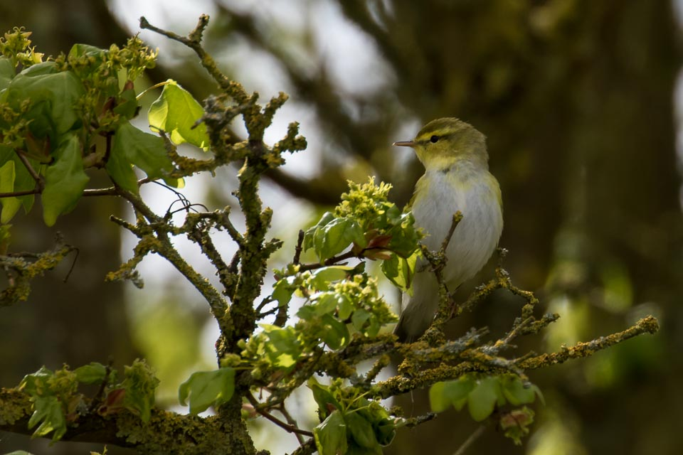 Wood Warbler by Peter Garner, Linford Lakes NR, 2 May 2016