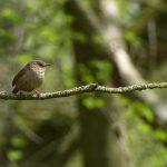 Wren by Harry Appleyard, Shenley Wood 28 April 2016