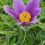 Pasque Flower at Knocking Hoe Down Reserve by Julian Lambley, 11 June 2016