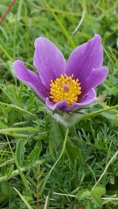Pasque Flower at Knocking Hoe Down Reserve by Julian Lamely, 11 June 2016