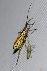 Mirid Bug by Peter Garner. Wicken Wood, 5 July 2016