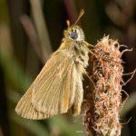Small Skipper by Paul Lund. Wicken Wood 5 July 2016