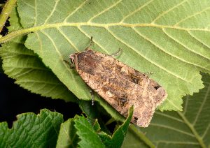 Large Yellow Underwing by Paul Lund. Wicken Wood 5 July 2016