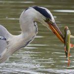 Grey Heron with Rudd by Harry Appleyard, Tattenhoe Linear Park 31 July 2016