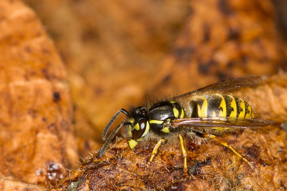 Wasp by Peter Hassett, Preston Montford 4 August 2015