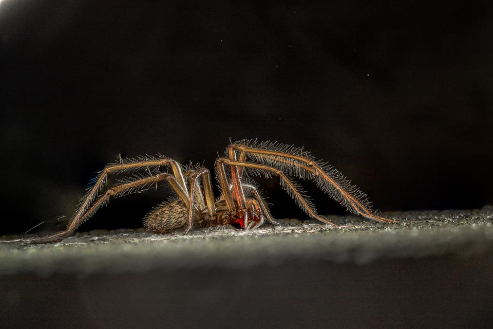 House Spider by Peter Hassett, Preston Montford 25 September 2016