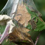 Caterpillars by Harry Appleyard, Tattenhoe Park 20th September 2016