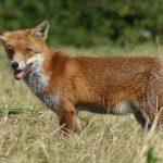 Fox by Harry Appleyard, Tattenhoe Park 24th September 2016