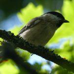 Marsh Tit by Harry Appleyard, Howe Park Wood 1 September 2016
