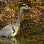 Grey Heron by Harry Appleyard, Howe Park Wood 7 November 2016