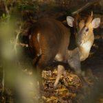 Muntjac Buck by Harry Appleyard, Howe Park Wood 28 November 2016