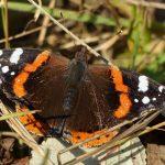 Red Admiral butterfly by Harry Appleyard, Howe Park Wood 20 December 2016