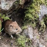 Bank Vole by Peter Hassett, Linford Lakes NR 18 February 2017