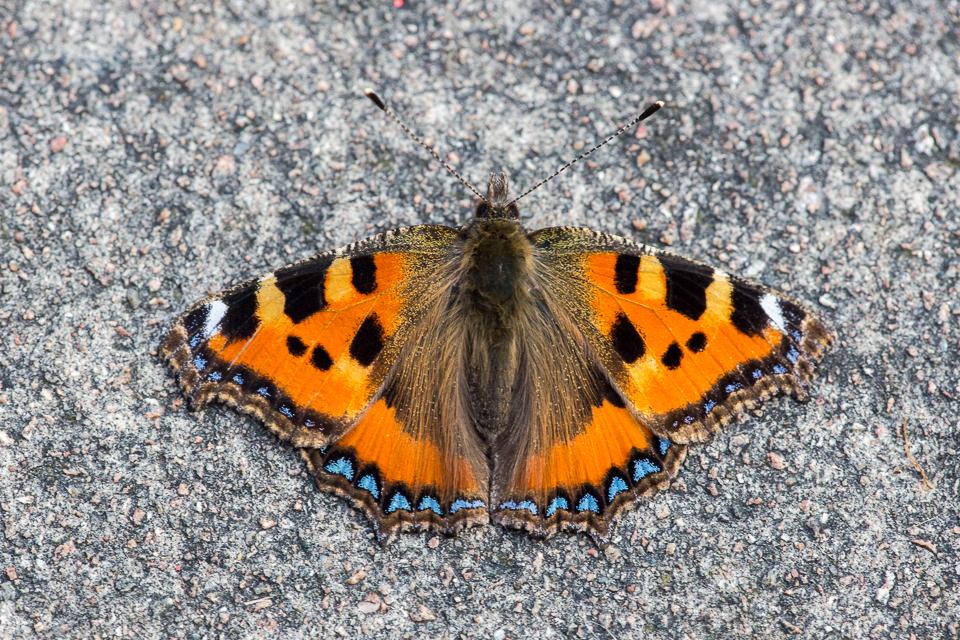 Small Tortoiseshell Butterfly by Peter Hassett , Shenley Church End 17 February 2017