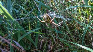 Wasp Spider ©Ruth McCracken at Simpson 15 August 2017