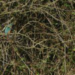 Kingfisher by Harry Appleyard, Furzton 29 December 2016