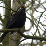 Leucistic Blackbird by Harry Appleyard, Emerson Valley 6 January 2017