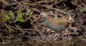 Water Rail by Mark Lynham, Linford Lakes NR 12 February 2017