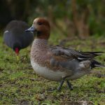 Wigeon and Moorhen by Harry Appleyard, Emerson Valley 14 January 2017