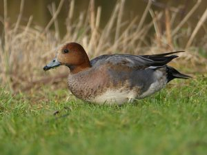 Male Wigeon by Harry Appleyard, Emerson Valley 3 February 2017