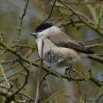 Marsh Tit by Harry Appleyard, Howe Park Wood 16 February 2017