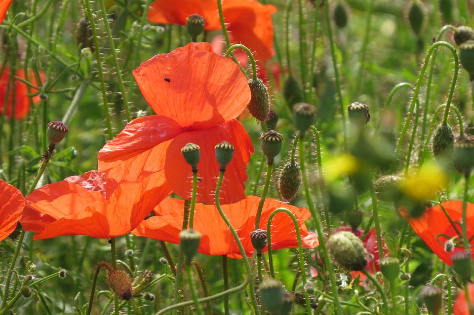 Poppies by Tony Wood