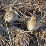 Snipe by Tony Woods at Willen Lake, 4 February 2017